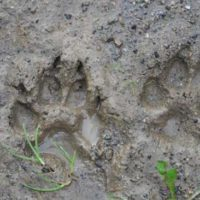 How To Identify Animals by their Tracks — Whether you're a hiker, nature enthusiast, or just want to know who's been eating your tomatoes, there's a helpful animal tracking guide for you. The Old Farmer's Almanac has a collection of animal track photos to help you figure out who your furry neighbors are.
