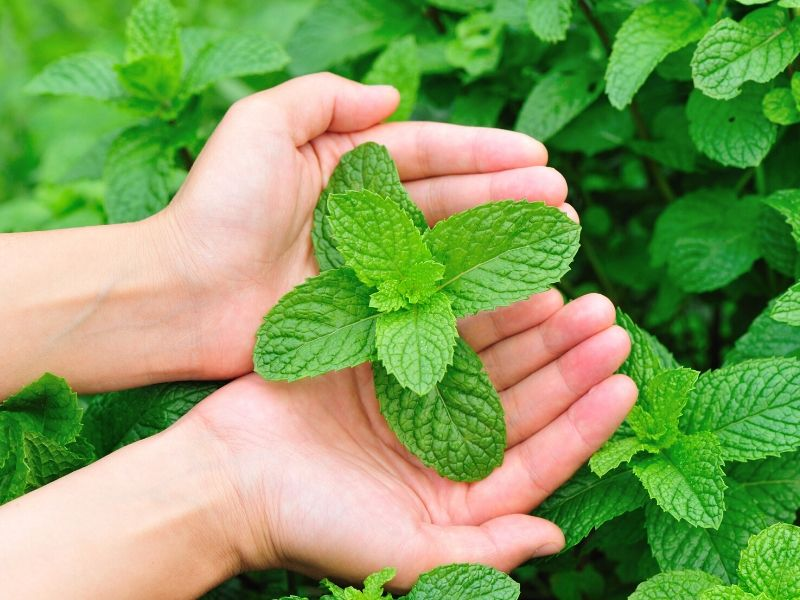 Hands holding a mint plant