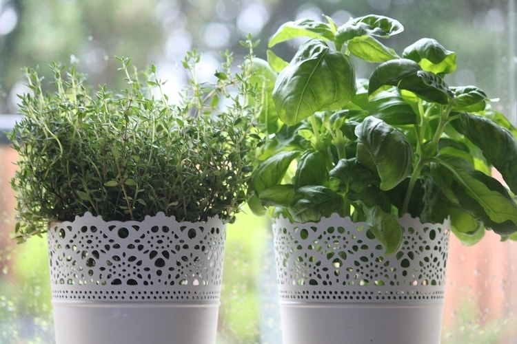Thyme is easy to grow from cuttings and thrives in small pots.