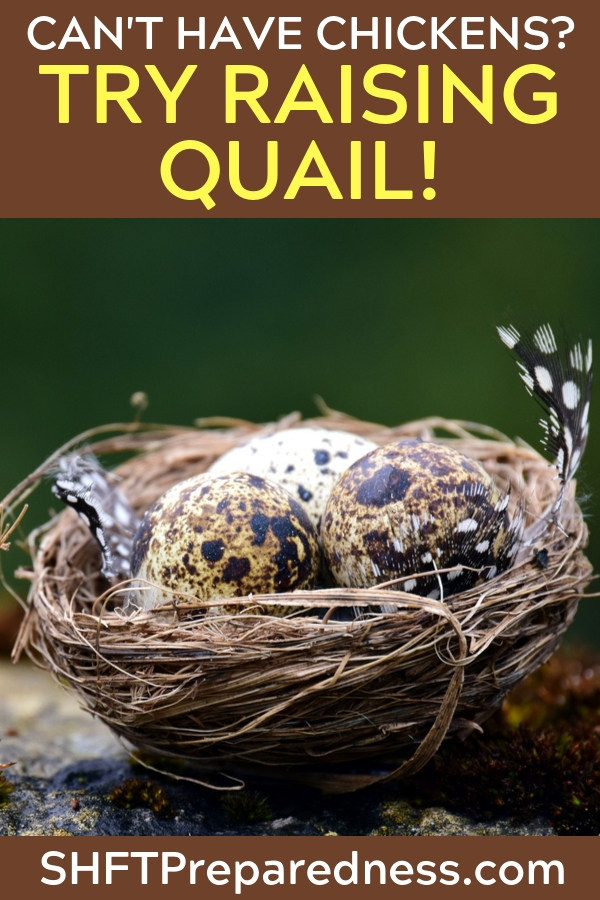 Not everyone can raise chickens, and sometimes they simply don't care for the bird. What about raising quail! Learn about the differences and then decide.
