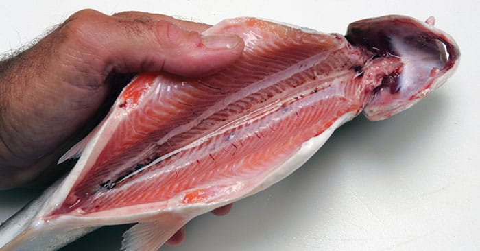 Cleaning and Preparing Fish: Tips You Should Know for Survival - This article is all about what you do after you catch the fish. Getting them on a hook or on the tip of a spear is one thing. Once you need to removed the guts and cook it the journey becomes something different entirely.