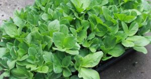 While you will have the ability to tap into those canned vegetables from the previous growing season you will miss that crispness of a fresh vegetable. There are methods that you can use to grow some crisp shoots and sprouts throughout the winter. You will get the nutritional value as well as the deliciousness of the fresh grown vegetable.