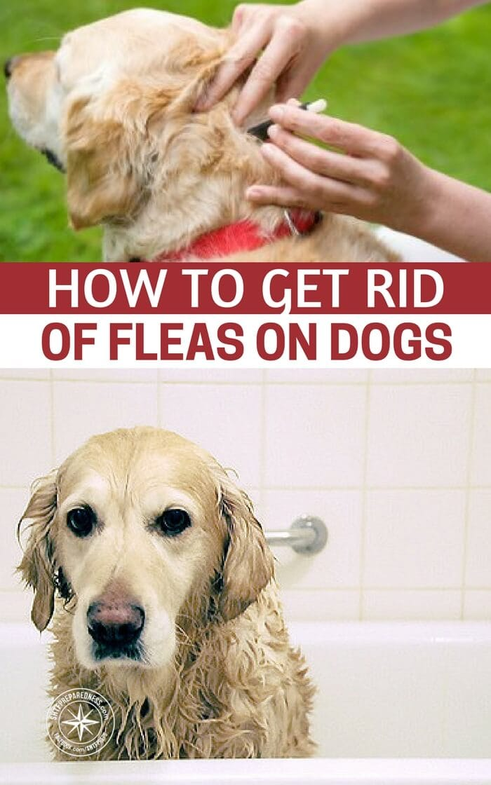 how to get rid of fleas on dogs. Black Bedroom Furniture Sets. Home Design Ideas