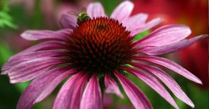 How To Grow, Harvest And Preserve Echinacea