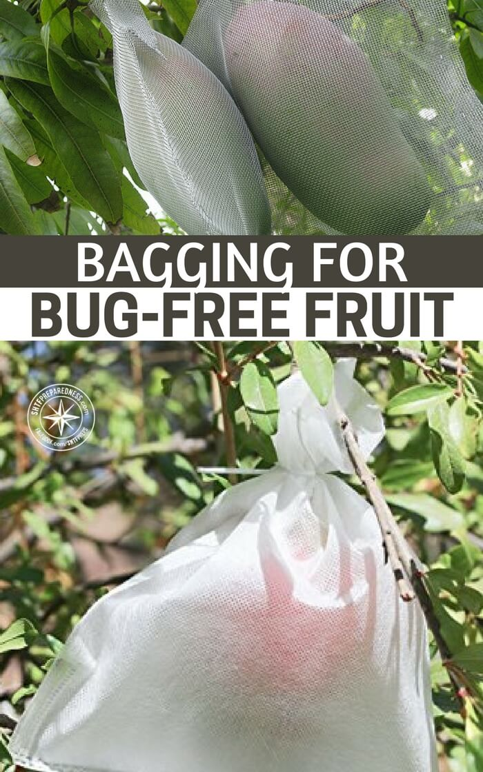 Bagging For Bug-Free Fruit - This frustrating situation can be avoided using an ages old technique. This article will break down bagging for you. It will explain how it can be done and why you should be doing it. Enjoy.