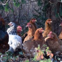 Natural Chicken First Aid - This is a great article about how to care for your chickens naturally. The whole point of raising birds is to assure you have access to either pure meat or eggs. If you have to fill them with antibiotics to keep them healthy, well, you are doing the same thing as those in the supermarket.