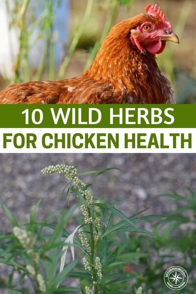 10 Wild Herbs for Chicken Health - It would only stand to reason that these powerful herbs also help out our hens. Hens are a preppers best friend. I have fallen in love with the idea of renewable protein and I just cannot get enough out of my hens. Caring for them is high on my list and you will come to see that herbs are very important in the grand scheme of it all.