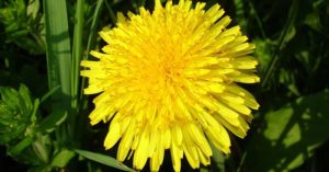30+ Ways to Use Dandelions in Food Storage and Around the Home - It was this revelation that helped me improve in my own foraging abilities. While I used to think about foraging in the way I mentioned above it was the realization that the readily available plants were what to go after for survival. The dandelion is one of those foods. Get to know it in this great article.