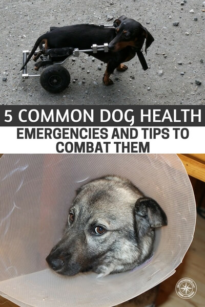 5 Common Dog Health Emergencies and Tips to Combat Them - If this is the case for you then you better be prepared to take care of the animals in your life. You need everything for your dog that you have for yourself. In fact, you should be producing a dog BOB or bugout bag. They make great little packs for dogs that can be packed and carried as well. This information should be printed and included in that pack.