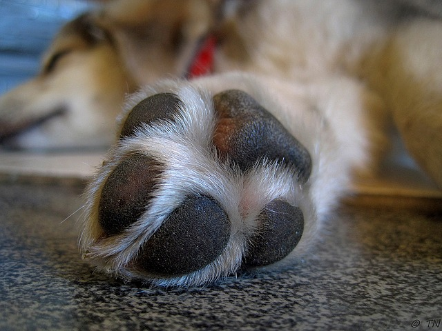 Soothing DIY Dog Paw Balm Recipe - A great DIY dog paw balm recipe is essential to help prepare your dog for a survival situation and just to pamper your four-legged friends today.