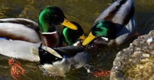 DIY Filtered Duck Pond and Shower - This article is about one of the very important things it takes to keep ducks. You need to provide them with a duck pond. They will love their little pond and in return you will get those big delicious eggs. Duck eggs are a serious delicacy. This little guys love the water. The creation in this article also offers a shower for them as well.