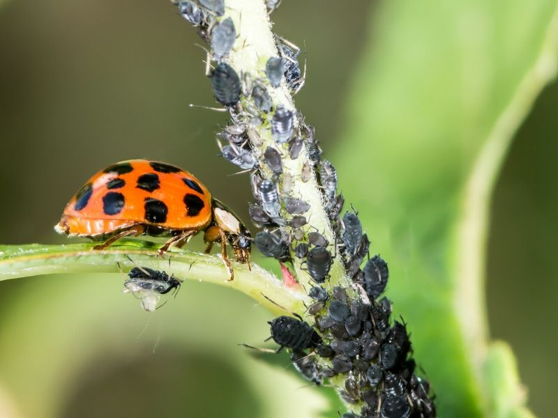 Ladybug and aphids on plant