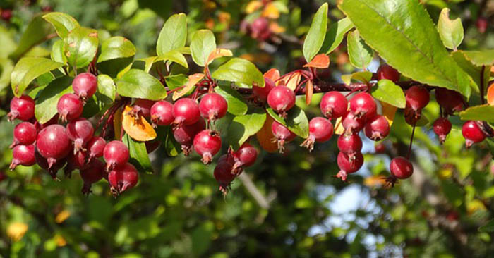 Foraging For CrabApples (Plus How To Use Them!) - This article offers up a method for foraging these crab apples and a method to put them to use. As you will find, everything in our world can be put to some use or another. If you are dealing with some type of food that can be foraged you have to know how to process them.