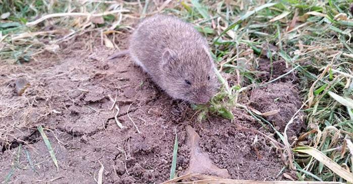 How I Kill Voles - Another big problem with voles is that they will make a mockery of your garden. You have to protect your land and your crops from these little creatures. This can be a seriously frustrating struggle, if you are unprepared. This article is one homesteaders perspective on how to eliminate the problem of voles in the backyard. Its not the only method but its an effective one.