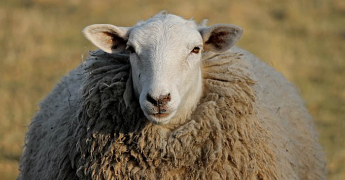 Shearing Sheep – Tips for Shearing Day - This is an article about shearing sheep. Shearing sheep, like anything else, comes down to practice and technique. What can be done to make this task go faster and be beneficial to both parties. It is an amazing thing that we have found an animal that grows clothes!