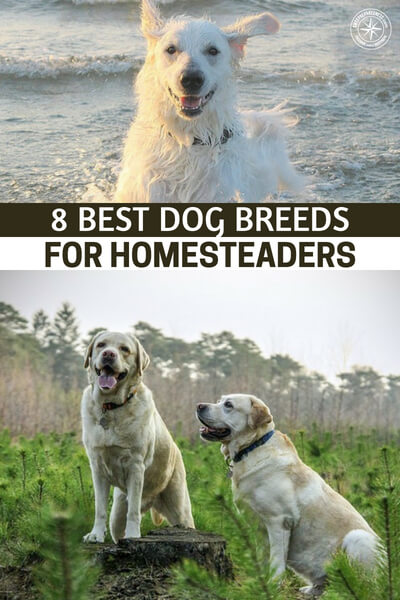 8 Best Dog Breeds for Homesteaders - Having said that, if you're getting a dog to help you around the homestead, then some breeds are definitely better than others. After all, chihuahuas aren't very good at herding sheep and toy poodles aren't very intimidating to intruders. If you want a dog for these and other types of tasks around the homestead, you should do your research first.