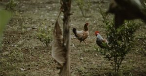 DIY Chicken Feed - Grow a Chicken Garden - This article offers up first hand experience from the point of view of someone creating that same type of garden. A word of warning on chickens in the garden, they will eat everything.