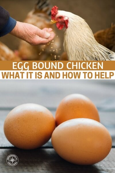 Egg Bound Chicken~What It Is And How to Help - This article is about an issue that occurs in many chickens. They become egg bound or an egg gets stuck inside of them rather than being left in the coop. Sounds like a nightmare right? Well, if you know how to deal with it, you will be better off.