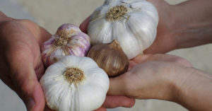 Garlic Growing Guide - A Look At How To Grow Organic Garlic - Growing garlic couldn't be easier. It doesn't really need any type of special care and it's usually not affected by pests. As long as you prepare the soil and give it the occasional watering , this is a crop that will reward you over and over again.
