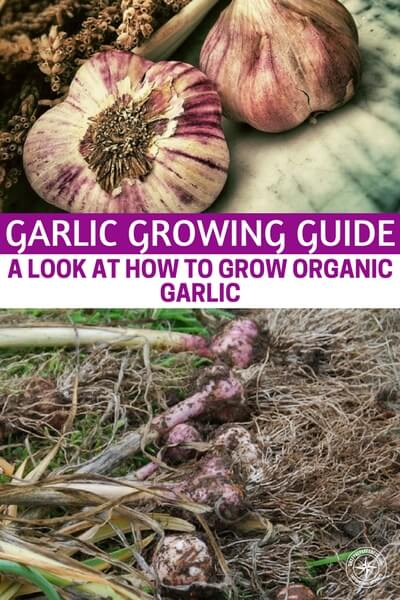garlic growing guide a look at how to grow organic garlic. Black Bedroom Furniture Sets. Home Design Ideas