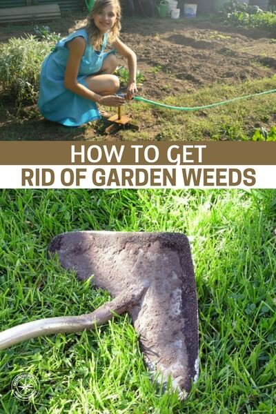 How To Get Rid Of Garden Weeds - Other weeds, like dandelions, daisies, chickweed and stinging nettle can be used for food. They make a delicious and nutrition addition to your spring meals. Plantain can be used to make tinctures and salves to heal skin problems. Once oyu know which weeds to go after, it's time to choose your method and go for it.