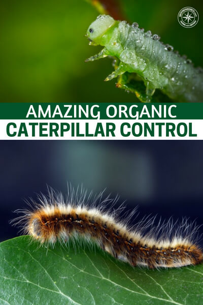Amazing Organic Caterpillar Control - This article is about creating an organic caterpillar control formula to protect your food from those little crawlers. If you use this at the first site of caterpillars you will not be struggling to keep them off your tomatoes or cucumbers.