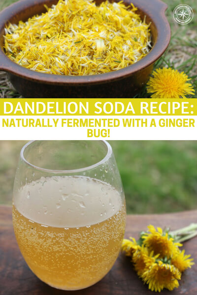 Dandelion Soda Recipe: Naturally Fermented with a Ginger Bug! - How about a naturally fermented soda with healing properties for your gut biome. Yea, I said your gut biome. Look, that's a big part of your health and if you are planning on surviving you better be healthy and ready. Self fermenting sodas are an awesome little project. They are a great time and can give you options outside of regular soda.
