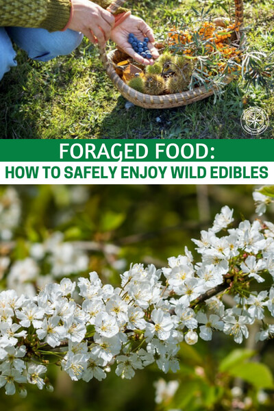 Foraged Food : How to Safely Enjoy Wild Edibles - Beyond just knowing what foods you can eat, you will also have to do the footwork of finding these edibles and trying them! You have to DO if you want to get any good at it.