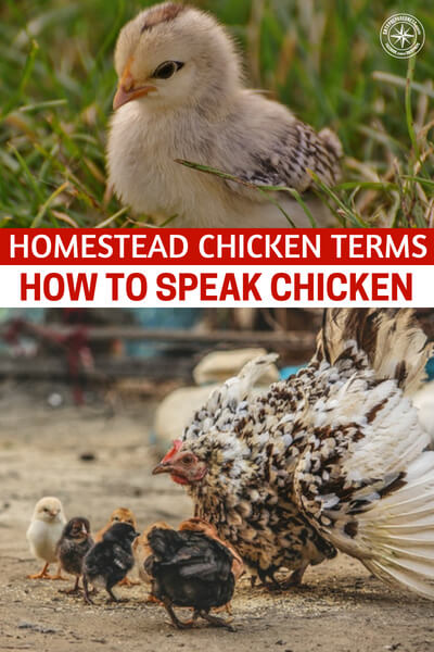 Homestead Chicken Terms – How to Speak Chicken - This article is a great primer on the parts, pieces and birds that are part of your egg factory. Everything is harder when you come from a place of ignorance. That is just the reality of it.
