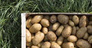 How To Build Homemade Potato Crates – Potato Growing Made Easy! - So what is the most efficient way to grow these things? Well, there are several but this article focuses on a crate building method that offers you one of the easiest and most effective ways to grow above ground potatoes.