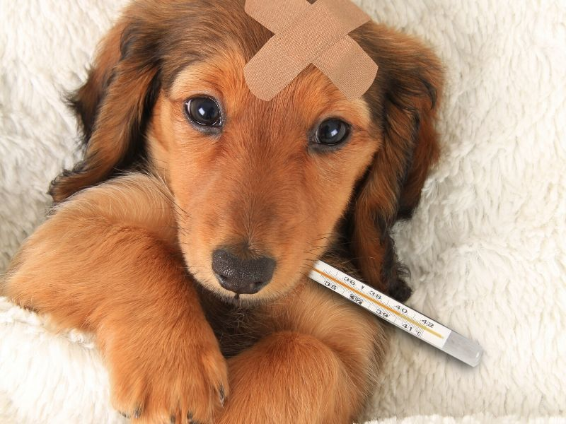 Dog with thermometer in its mouth