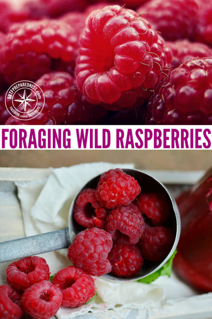 Foraging Wild Raspberries - Lets be honest about foraging for a minute, its kind of a drag. Most times of the year you can find yourself eating things that are either not that tasty or not that filling. Of course, in a survival situation this skill will make all the difference and you will get great nutrition for wild grown leafy greens and other edibles.