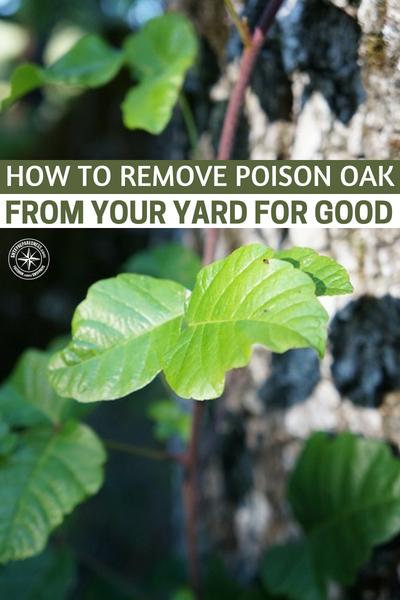 How To Remove Poison Oak From Your Yard For Good -- Many people are very allergic to poison oak and poison ivy, requiring medical attention. Do you know how to remove poison oak from your yard for good? It might save your life (or the life of a loved one).