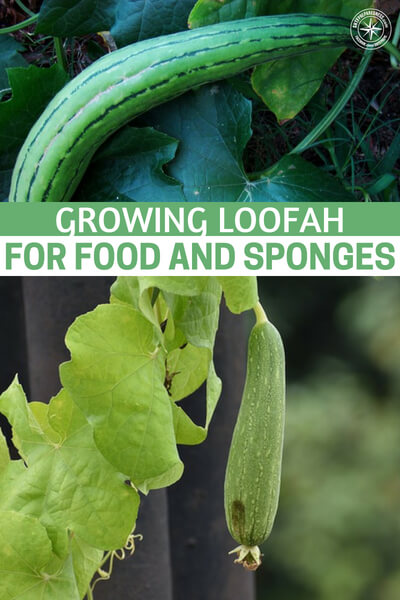 Growing Loofah For Food And Sponges - Many of us used one of these sponges at one time or another without knowing you can grow your own in the backyard garden. I long time ago, when I didn't know much about gardening, I thought these sponges came from the ocean, and I was a bit grossed out about them. Many people today still believe that.