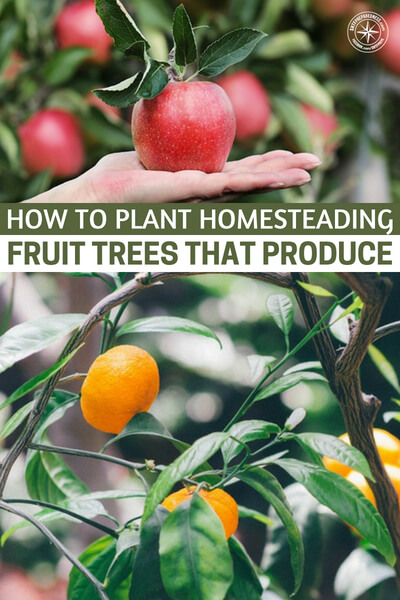 How to Plant Homesteading Fruit Trees That Produce - The journey of planting fruit trees is an exciting one. This is particularly true, if you start from a small sapling. Looking over the peach trees or apple trees that you planted from saplings years ago will give you a great sense of satisfaction. This article is all about how to have success with your trees.