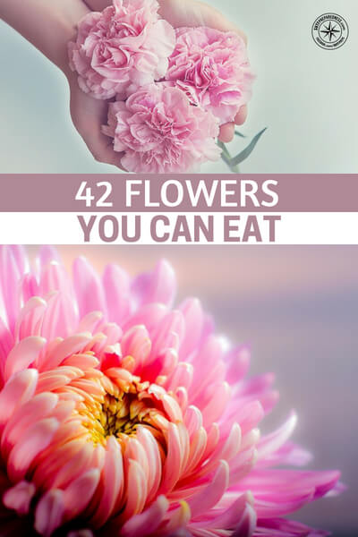42 Flowers You Can Eat - This is an article that offers up 42 flowers that you can eat. Now, consider these flowers not just for the foraging ability therein but also for growing. Maybe you want a garden and a flower garden.