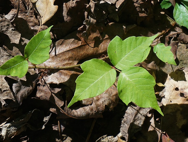 If poison ivy ever got you, I don't need to tell you how painful and debilitating it can be. If you have children playing outdoors (and even if you don't, but you love to spend time outside), you need to learn how to safely remove poison ivy to keep your family safe.