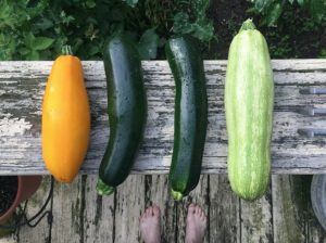 Freezing Zucchini And Squash To Save For Later -- We love harvesting zucchini and squash every day and eat as much as we possibly can. We've had it raw in salads, made zucchini noodles (also known as zoodles), zucchini bread, squash patties, sauteed, soups, etc.  You name it, we made it. But there's only so much you can eat before you get silk of it. #garden #gardening #gardeningtips #homestead #homesteading
