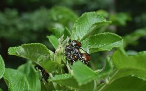 How To Kill Japanese Beetles Naturally -- Japanese beetles can decimate your garden in just a couple days. By the time you even know they are in your garden, there will be a lot of damage already done.