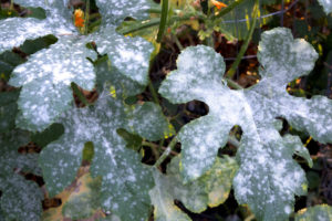 Uh-oh! White Powder on Plants? -- For anyone new to growing a garden, you're discovering that it's not a plant and forget scenario. There are predators for everything out there, and the gardener has many nemeses. One of the most common invaders is that white powder on plants called powdery mildew. #garden #gardening #gardeningtips #homestead #homesteading
