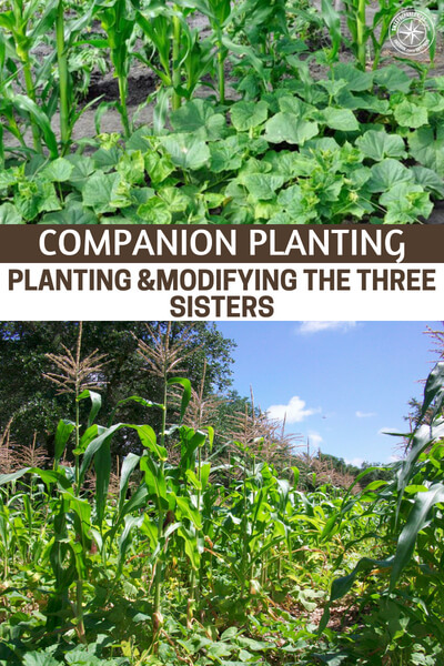 Companion Planting – Planting &Modifying the Three Sisters - You need a good resource for this. This article is all about planting and modifying the three sisters which is an old technique we learned from the native Americans. This article will have you considering all sorts of companion plants and only you will be able to decide what works best.
