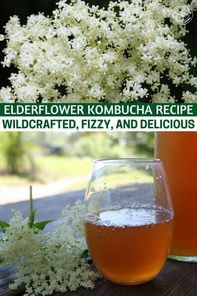 Elderflower Kombucha Recipe :: Wildcrafted, Fizzy, and Delicious! - Elderflower is a medicinal and an easy to gather wild edible. When you are flavoring a drink like kombucha its very important that you get that right. There is something very powerful about being able to make a fizzy drink without a co2 tank lying around the home.