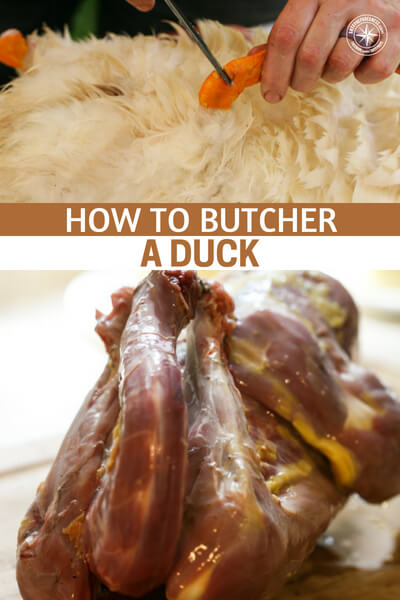 How to Butcher a Duck – a Step-by-Step Picture Tutorial - Ducks are superior birds and great for raising and slaughtering. Don't forget, they also produce eggs! There may be no better bird to raise than the duck. Its a hard one to argue against. This is a great article about how to butcher a duck.