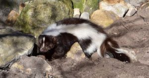 How To Clean and Eat Skunk - Of course, the killing is just the first step in all of this. Once you have killed the animal you are going to have to figure out how to process that meat. You need to skin that animal and break it down to eat it.