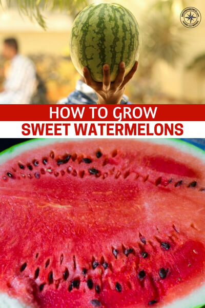 How to Grow Sweet Watermelons - This is an article about growing sweet watermelons. You have to take some important steps in your garden if you are going to grow those delicious ruby red, sweet watermelons. Take some time to read this one and add these to your survival garden.