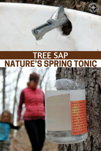 Tree Sap :: Nature's Spring Tonic - Tree sap is just one example of how effective you can be with nature. There is much more to sap than making syrup or patching holes in boats. This article is all about tree sap and its uses as natures tonic. Its this kind of understanding of the natural world that will set you above the rest.
