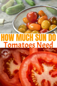 How Much Sun do Tomatoes Need -- Living in the woods in a hollow, we struggled for years just to grow tomatoes. There just wasn't enough sun. But how much sun do tomatoes need?