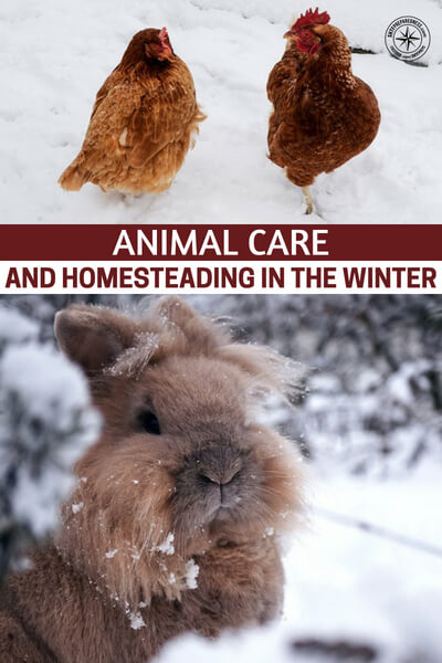 Animal Care and Homesteading in the Winter - Now that more Americans are operating urban homesteads and keeping birds, rabbits and even goats, it would stand to reason that we are going to have to consider a new way of living and look back on how to care for our animals.