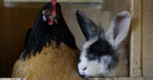 Boredom Busters … for Rabbits! and Chickens too! - This is a great article with a very unique boredom buster for your rabbits and your chickens. You will find that your animals act much better when they have a task like this. That means better production for you.