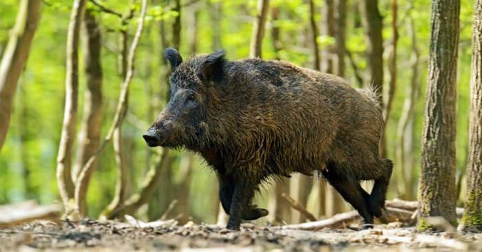 DIY Wild Hog Bait - I cannot think of a better type of food that will be available during the collapse. You should get to know these wild hogs because they can not only be hunted in a collapse but if you trap them and mate them, well, you will have meat that keeps your family fed for a while. This is a great little article all about baiting these wild hogs.